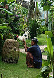 Balinese preparing rooster for cock-fight