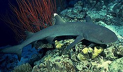 White point reef shark-Triaenodon obesus
