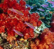 Soft Coral and colourful fish-Anthias