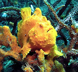 Yellow frog fish - Michelle - Antennarius commerson
