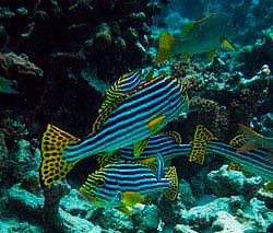 Oriental Sweetlips at the wreck-Plectorhinchus orientalis