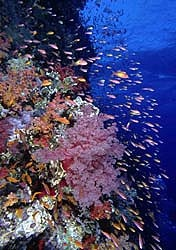 Amazing Coral - with Anthias - covered wall