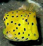 Yellow boxfish - Ostracion cubicus - Nathalie