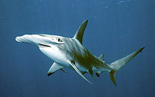 Hammerhead shark at the Magnet - Sphyrna lewini