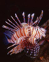 Red Firefish-Pterois volitans