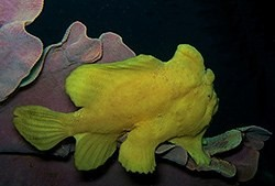 Commerson's Frogfish-Marco-Antennarius commerson