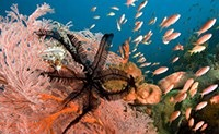 Sea fan with featherstars - Gorgonian with Crinoids