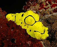 Banana Nudibranch - Aegiridae - by Topper Jeroen