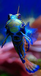 The totaly beautiful Mandarinfish - Synchiropus splendidus