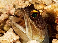 Yellow-barred jawfish - Opistognathus randalli