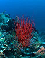 Red whip Coral - Junceella - by Kathy Mendes