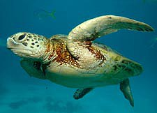 Young Green turtle - Chelonia mydas