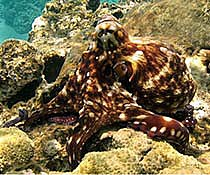 Common reef Octopus - Octopus cyanea
