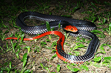 Red-headed Krait - Bungarus flaviceps