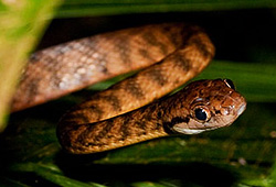 Brown tree snake - Boiga irregularis