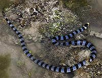 Banded sea krait on land - Laticauda colubrina