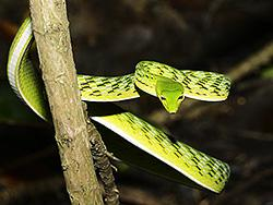 Big-eye Green Whip Snake - Sumatra and Java - Ahaetulla mycterizans